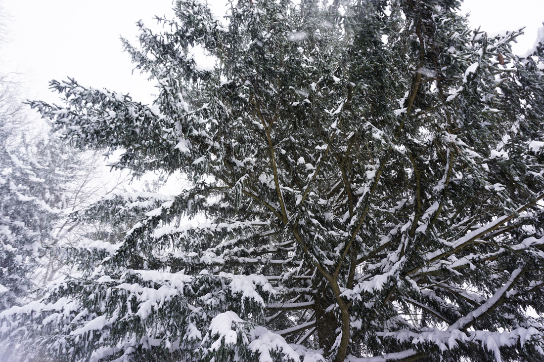 Snowy Pine Tree Snow Storm